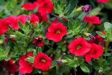50 Calibrachoa Aloha Red Live Plants Plugs Garden Home Diy Planters D10002