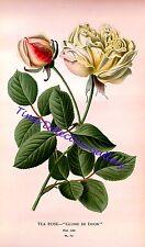 Botanical Illustration of a Tea Rose (Gloire de Dijon) - Historic Art Print