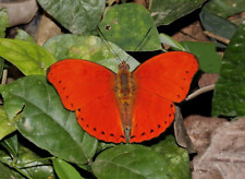 RED CYMOTHOE sangaris/excelsa MIX - 25  Red Gliders, Unmounted -.Congo/