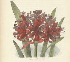 AMARILLIDE NERINE Stampa antica 1896 FIORI Incisione inglese botanica