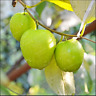 Jujube Bonsai Big Fruit Tree Tropical Fruit 10 Pcs Seeds Plants Garden Home NEW