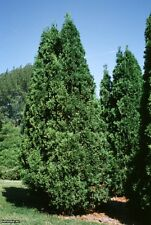 Cedar Tree Seeds -  NORTHERN WHITE - Swamps and Lowlands - Canada - 25+ Seeds
