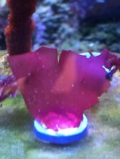 LIVE RARE HALYMENIA SP DRAGONS BREATH SMOOTH LIKE MACRO ALGAE SALTWATER