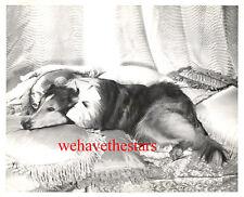 Vintage Lassie '48 Collie Dog Mgm Star Hills Of Home Publicity Portrait
