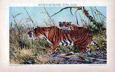 Antique print litho tiger Felis tigris 1895 tijger