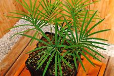 4 x Cycas panzhihuaensis 3cm caudex, cold hardy, Encephalartos, cycad