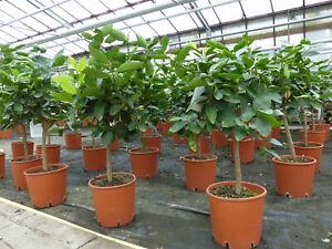 """Limette Limettenbaum """"Aurantifolia"""" Citrus Lime 70 - 90 cm Zitruspflanze"""