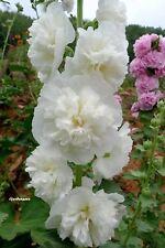 100 Graines Rose trémière Althaea rosea (hollyhock) Double White flower seeds