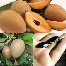 Manilkara zapota 50 Seeds, Sapodilla, Fruit Seeds, Unique Tropical From Thailand