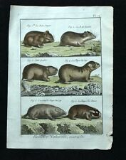 LE RAT OF SONGAR and BARABA, TAUPE CAPE engraving of Buffon watercolour 1790