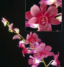 Dendrobium CHRISTMAS RED seedling orchid plant in 80mm pot