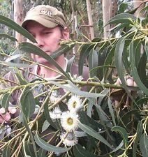 Pfefferminz-Eukalyptus : Schnellwüchsiger Zimmerbaum gegen Insekten / Samen ...