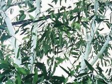 winterfester weisser Schnee-Gummibaum ... Duftbaum / Eukalyptusbaum / Samen