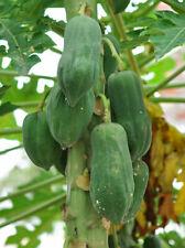 15 Papaya non-GMO seeds