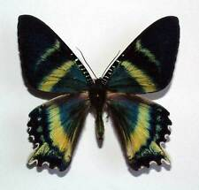 ALCIDES ORONTES - unmounted butterfly