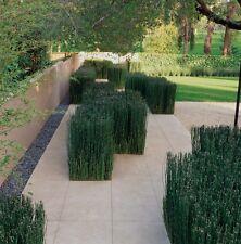 "20+ Horsetail Reed Grass Looks Like Mini Bamboo Large Live Pond Plants 38"" Box"
