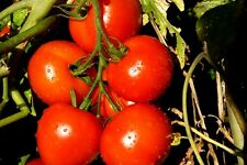 SUB ARCTIC MAXI TOMATO *EARLY * SHORT SEASON* Vegetable 48 Days!!! 20 Seeds
