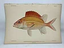 Antique Lithographic Print Reef Fishes Hawaiian Islands Bien 1903 Plate 11