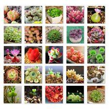 500PCS Mix Lithops Seeds Living Stones Succulent Cactus Organic Bulk Seed AU