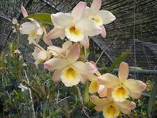 Dendrobium Nobile Sweet fantasy yellow.