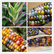(20 pcs) semences de maïs Authentique indien arc en ciel non-OGM