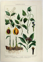 Flavoring Plants - Original 1902 Chromo-Lithograph by  J Bien. Antique