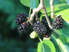 Noire mûre Mûrier noir Morus nigra 200 graines