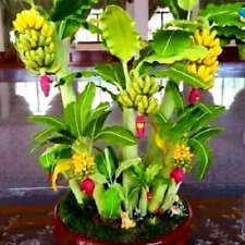 100Pcs Dwarf Banana Tree Seeds Rare Mini Bonsai Garden Plant Exotic Fruits Home