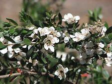 Leptospermum nitidum  -Shining Teatree 20+ seeds