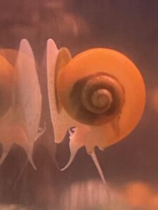 10 Aquarium Golden Snails..Healhy Active Tank Cleaners Eat Algae From Glass