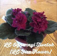 African Violet Plant - LE Ognennyi Tsvetok ( LE Fire Flower) -Russian/Ukraine