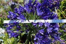 Schmucklilie Agapanthus Regal Beauty - tiefblau riesige Blütenbälle bis zu 30 cm