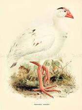 DRAWING BIRD ROWLEY KEULEMANS LORD HOWE SWAMPHEN ART PRINT LAH351A