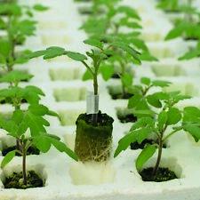 Tomato - Rootstock Estamino - 12 Seeds