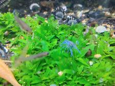 New listing 10 Junival Dwarf Blue Crayfish