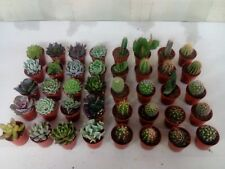 10 x Mixed Succulents/Cactus Plants (5.5cm Pots) - Assorted Varieties
