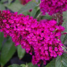 """Buzz® Hot Raspberry Butterfly Bush - 6-12"""" tall 4"""" pot Perennial -3 plants"""