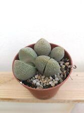 PLEIOSPILOS NELII Planta Suculenta Viva 5,5 cm pot Succulent Cactus Kakteen