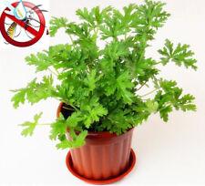 100pcs Citronella Plant Seeds Mozzie Buster Plant Mosquito Repellent Green Plant