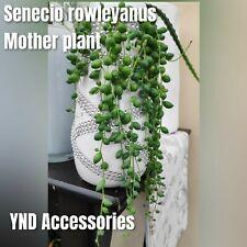 1 Senecio rowleyanus string of  pearls beads  Succculent fresh cutting 10cm long