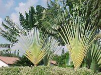 Ravenala Madagascariensis, Baum der Reisenden, Traveler's Tree,10 Samen,10 seeds
