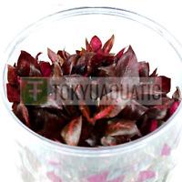 Alternanthera Reineckii Rosanervig Tissue Culture Cup Live Aquarium Plants Red