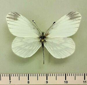 Pieridae Leptidea morsei ? ssp. Russia, Transbaikalia region