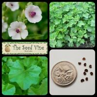 50+ ORGANIC MARSHMALLOW PLANT SEEDS (Althaea officinalis) Edible Medicinal Herb