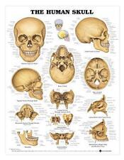 Human Skull Chart/Charts/Models Anatomical, Skulls