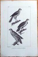 L'Epervier, L'Autour, Le Gerfaut - 1830s French Bird Print
