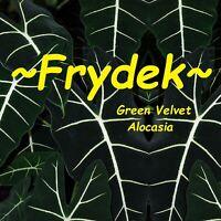 ~FRYDEK~ Alocasia micholitziana GREEN VELVET Houseplant Live small starter plant