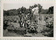 PHOTO ANCIENNE - VINTAGE SNAPSHOT - CUEILLETTE PAYSAN VENDANGES - GRAPE HARVEST