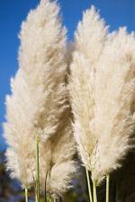 Cortaderia selloana (Pampas Grass) - 100 seeds - Majestic Ornamental Grass