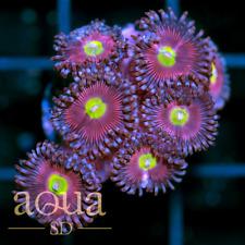 Asd - 057 Lime Eye Warrior Zoanthids - Wysiwyg - Aqua Sd Live Coral Frag